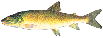 lake trout fish