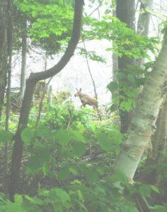 Moose walking along the Percy Lake shoreline